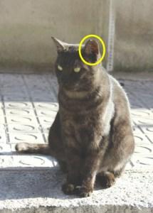 A los gatos que se captura y se esteriliza se les marca con un pequeño corte en la oreja izquierda