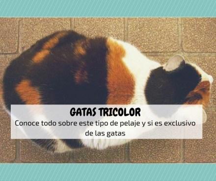 gatas tricolor