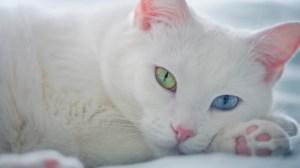 Los gatos con ojos dispares pueden sufrir sordera por el lado del ojo azul
