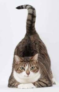 Algunos gatos levantan la cola cuando los acariciamos |Foto: hoschie.deviantart.com