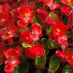 begonias planta tóxica gato | Foto: pixabay