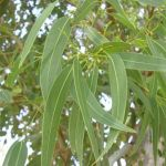 Eucalyptus globulus planta tóxica gato | Foto: Franco Rossi