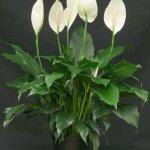 spathiphyllum planta tóxica gato | Foto: chesterflowers.com
