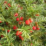 taxus baccata planta tóxica gato | Foto: herbariornamental.wordpress.com