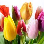 tulipanes de colores planta tóxica gato | Foto: bancodeimagenesgratis.com