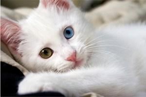 gato blanco sordo es una sordera común