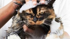 A la mayoría de los gatos no les gusta recibir un baño | Foto: Fotolia