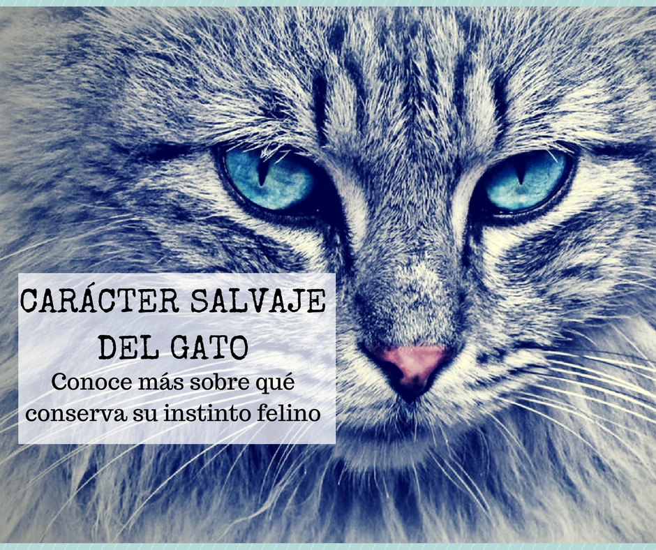 Gato salvaje doméstico o domesticado | Foto: pexels.com/photo/animal-pet-fur-head-33537
