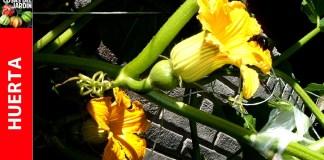 Calabaza y Calabacín: Cómo alentar a las plantas a que den flores hembra?
