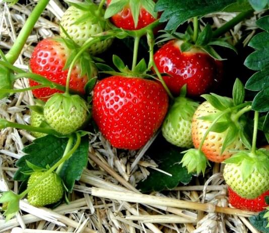 10 consejos para cultivar mejores frutillas.