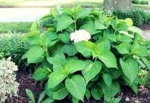 hortensia no florece