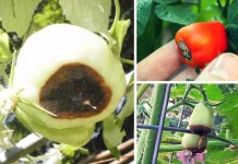 podredumbre apical del tomate 1 (1)