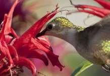 flores que atraen colibries