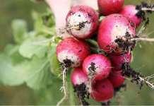 guia de cultivo rabanitos