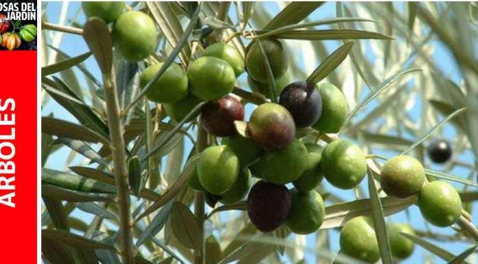 Cultivo de Olivo