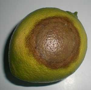 phitophora fruto limonero