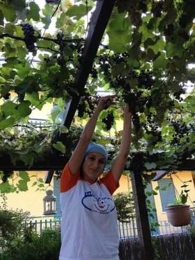 raccolta di uva fragola