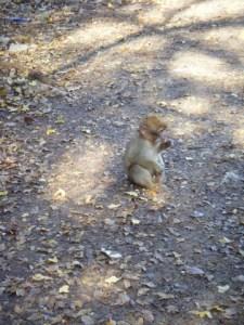 Scimmietta - foresta Cèdres Gouraud