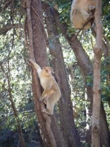Scimmietta e cedri Gouraud