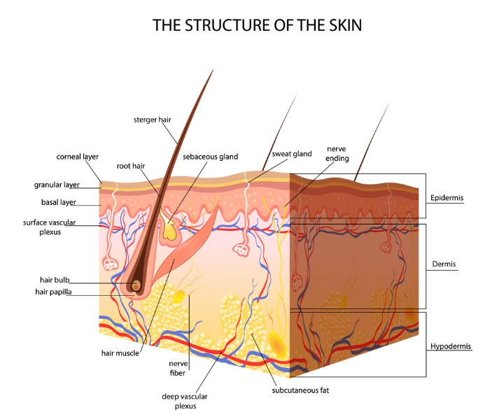 the structure of the skin