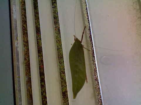 20080313leafy-bug02.jpg