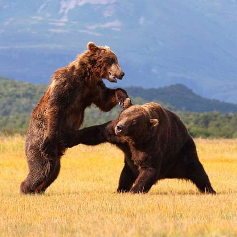 bears-fight-dirty.jpg