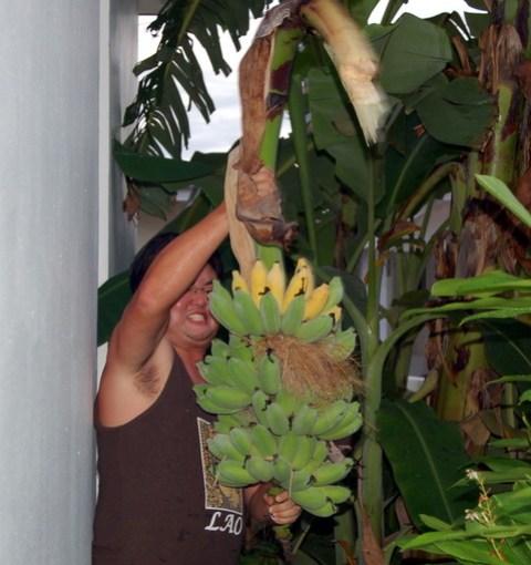 20090609banana-harvest0052.jpg