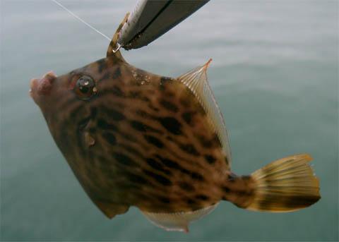 hornedtriggerfish.jpg