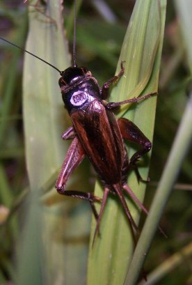 marked cricket