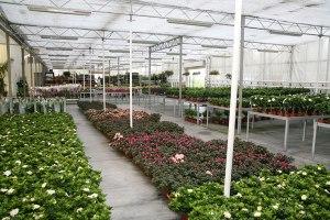 cosmosplants-plants17