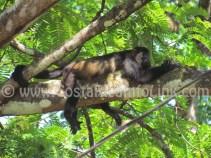 Howler Monkeys at Barco Quebrado Beach Costa Rica