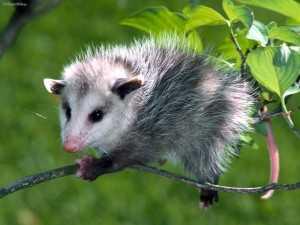 Opossums - Costa Rica
