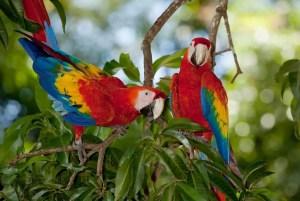 2 scarlet macaws (ara macao) - Limonal/Costa Rica
