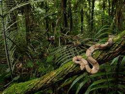Boa Constrictor in tropical forest of Costa Rica