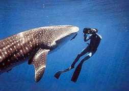 whale-shark-costa-rica