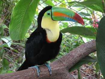 Keel_billed_toucan_costa_rica