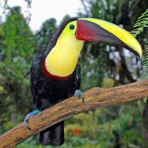Chestnut-toucan