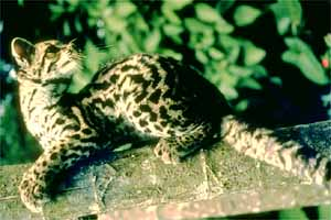 Margay_cat
