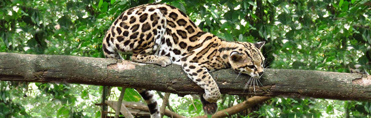 Cat Lovers - Where to See Costa Rica's Wild Felines