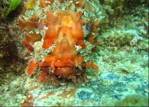 scorpion-fish