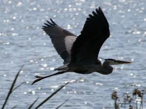 Great_Blue_Heron 1