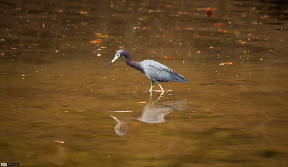 Blue Heron - Scott Alexander