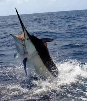 costa rica marlin fishing season1