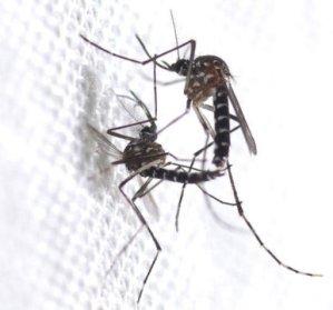 Chikungunya virus mosquito 1