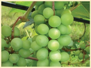 Zamora Estate vineyard costa rica