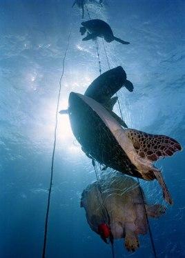 turtle caught in fishing net costa rica 1