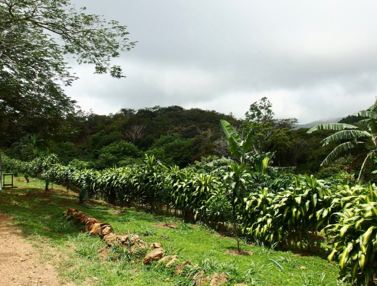 organic coffee farm for sale costa rica san ramon