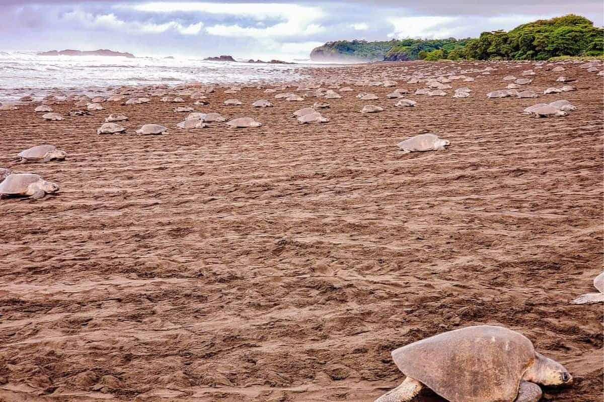 Ostional Costa Rica – See Thousand of Sea Turtles Lay Their Eggs