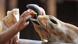 Alimentación de camellos