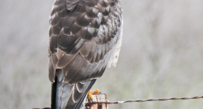 Volunteers Needed For Raptor Surveys – No Experience Required